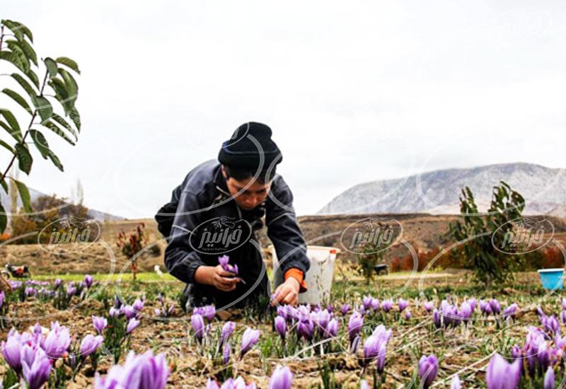 سایت خرید زعفران عمده در بلژیک