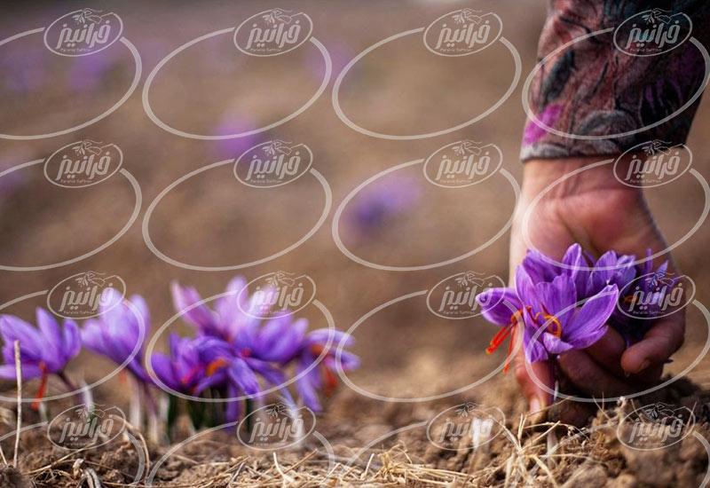 سفارش زعفران قائنات برای صادرات به باکو
