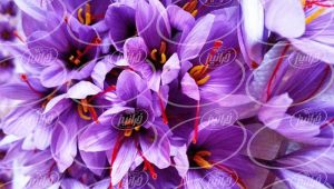 فروش مایع زعفران در بسته بندی های یک لیتری
