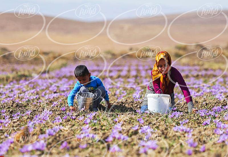 پخش زعفران در تهران با بهترین کیفیت