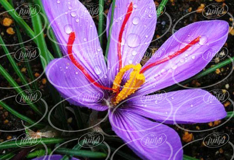 تجارت بی واسطه پودر زعفران فوری باکیفیت
