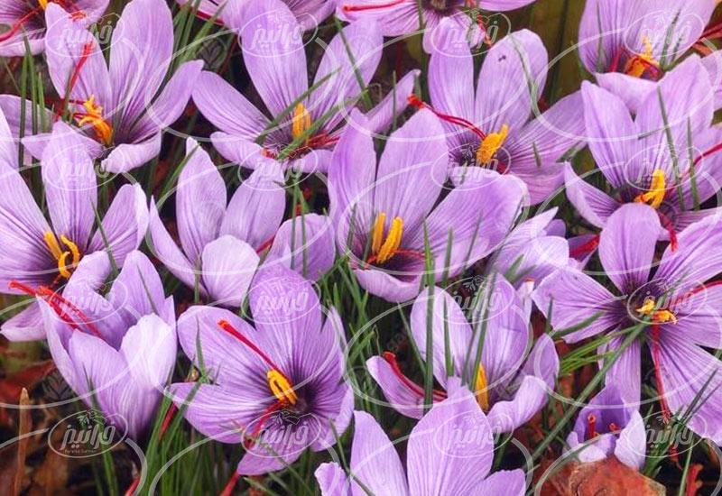 صادرات پودر ژله زعفران با برند های معتبر