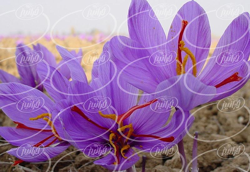 رنگ زعفران ایرانی و صادرات آن به ترکیه