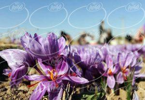 شگفت انگیزترین طرح های فروش پودر رنگ زعفران
