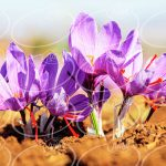 پخش زعفران مصطفوی با شرایط عالی و استثنایی